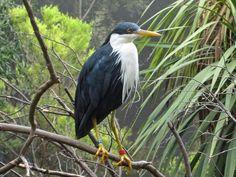 Pied Heron (Ardea picata) by Burtonpe.