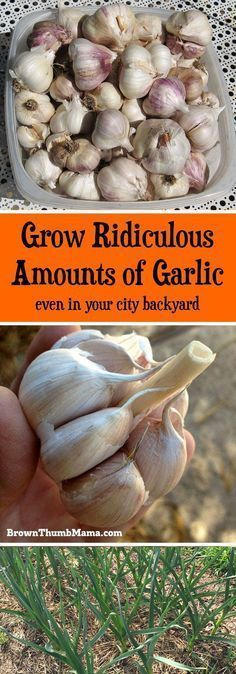 Garlic is amazingly easy to grow. All you need is a sunny spot in your #garden and these important tips. You'll never have to buy #garlic from the store again! #gardening