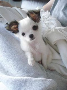 Effective Potty Training Chihuahua Consistency Is Key Ideas. Brilliant Potty Training Chihuahua Consistency Is Key Ideas. Chihuahua Puppies, Cute Puppies, Dogs And Puppies, Cute Dogs, Doggies, Cute Baby Animals, Animals And Pets, Mundo Animal, Little Dogs