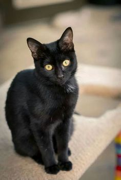 Black Cat With Images Cats And Kittens Black Cat Breeds Cat Love