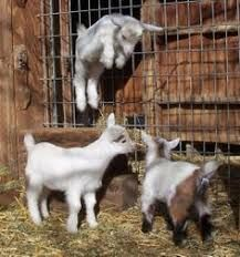 Image result for goats playing