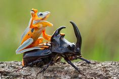 Indonesian wildlife photographer Hendy Mp has captured absolutely amazing images of a tiny Reinwardt's tree frog riding atop a giant rhinoceros beetle, like a tiny cowboy upon his steed. Giddy-up! ...