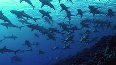V I D É O Full H D Plongée face à un mur de #requins dans l'atoll de #Fakarava, en #Polynésie ! Plus de #video de #plongée #sous-marine sur → www.Plongeurs.TV