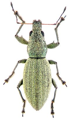 Eusomus ovulum Germ. (Curculionidae) - atlas of beetles of Russia (photo by K.V. Makarov)