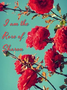 Song of Songs 2:1 Chapter 2  I am the rose of Sharon, and the lily of the valleys.