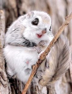Japanese Dwarf Flying Squirrel! He's like: I LOVE this stick