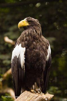Stellars sea eagle Beautiful Horses, Beautiful Birds, Animals Beautiful, Beautiful Creatures, Harpy Eagle, Bald Eagle, Steller's Sea Eagle, Types Of Eagles, Philippine Eagle