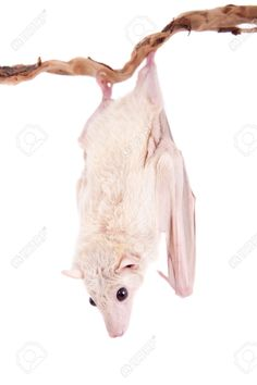 Egyptian Fruit Bat Or Rousette, Rousettus Aegyptiacus. On White.. Stock Photo, Picture And Royalty Free Image. Pic 37973511.