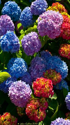 Colorful flowers - Hydrangea  blooms - photographer John Collins