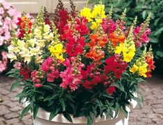 Shop Antirrhinum Liberty Mix at J Parkers. A stunning rainbow collection of Snapdragon Flowers, Long lasting vibrant colours. Buy UK Plug Plants online now. Summer Flowers, Colorful Flowers, Flower Seeds, Flower Pots, Snapdragon Flowers, Antirrhinum, Mickey Mouse, Hardy Plants, Plants Online