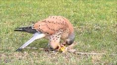 Download video: Lure Flying Female American Kestrel Falconry