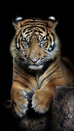 National animal of tiger hd wallpaper picture collection - Life Is Won For Flying (WONFY) Big Cats, Cool Cats, Cats And Kittens, Tiger Pictures, Animal Pictures, Beautiful Cats, Animals Beautiful, Animals And Pets, Cute Animals