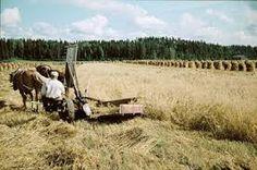 Harvest time in past Finland   sadonkorjuu