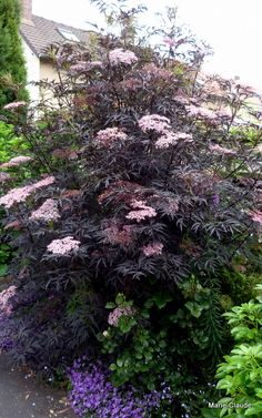 Focus sur : le Sambucus nigra Black Lace 'Eva', – Un P'tit Coin de Nature Planting Flowers, Plants, Garden, Cottage Garden, Shade Garden, Foliage Plants, Growing Shrubs, Shrubs, Backyard