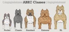 Resultat d'imatges de american stanford pocket terrier