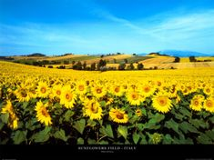 ...a field of sunflowers in summer taken by photographer, Philip Enticknap. This scene is located in Umbria, a hilly region in central Italy.