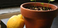 Cultiver un citronnier à domicile vous procure les bienfaits du jardinage, mais sert également d'arbuste ornemental aux énormes bienfaits.