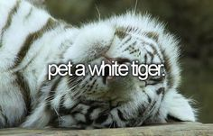 ♥ Tigers