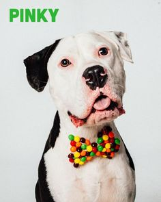 Pinky is an adoptable Pit Bull Terrier searching for a forever family near Houston, TX. Use Petfinder to find adoptable pets in your area.