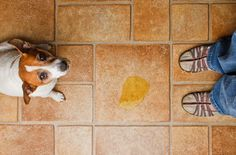 Potty Dog Training: By Juliana Weiss-Roessler When most people think about housebreaking a dog, they… Puppy Potty Training Tips, Training Your Dog, Training Pads, Dog Urine, Pet Odors, House Breaking A Puppy, Dog Smells, Puppy House, Dog Pee