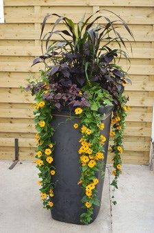 This tall, slender container attracts attention and fits perfectly into narrow spaces. Container: 12 by 12 inch square; Light: Sun. Plants: Pennisetum glaucum 'Purpple Majesty' (ornamental millet), Thunbergia 'Susie Orange with Eye', Iresine 'Purple Lady', Alternanthera 'Purple Knight'.