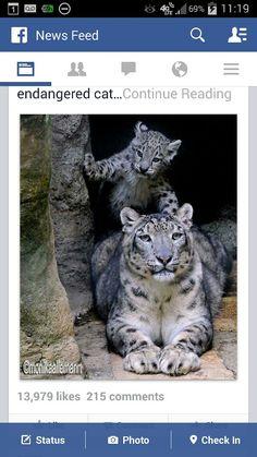 Snow Leopard mom & cub
