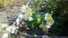 Yeti Nasturtium Garden Photos, Plants, Planets