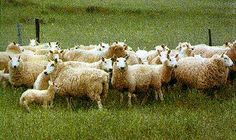 Breeds of Livestock - Cheviot Sheep
