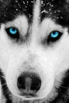 """Excellent """"Siberian Husky dogs"""" info is readily available on our website. Check it out and you will not be sorry you did. Wolf Husky, Siberian Husky Dog, Beautiful Dogs, Animals Beautiful, Cute Animals, Animals Dog, Beautiful Pictures, Cute Husky, Husky Puppy"""