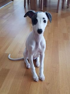 10 wk old Whippet puppy & FACE ! 10 wk old Whippet puppy & FACE ! Source by The post 10 wk old Whippet puppy & FACE ! appeared first on Gwen Howarth Dogs. Italian Greyhound Puppies, Whippet Puppies, Dachshund, Italian Whippet, Whippets, Cute Puppies, Cute Dogs, Dogs And Puppies, Doggies