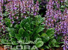 Ajuga australis - Australian bugle - Australian Bugle is a dense growing ground cover with upright spikes of mauve flowers in summer. It has deep green foliage with a dark tinge. It is a great mat forming plant for those difficult shady sites or under trees and shrubs. Suits most soil types, coastal and inland areas. Once established it will tolerate dry periods. Mulch to deter weeds and to conserve soil moisture.