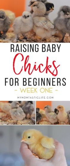 Raising Baby Chicks For Beginners - Week One. Tips and advice for raising backyard chickens for beginner homesteaders. There's nothing better than fresh eggs!