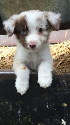 Cute Baby Dogs, Cute Dogs And Puppies, Doggies, Adorable Dogs, Puppies Puppies, Aussie Puppies, Funny Puppies, Cutest Dogs, Cute Fluffy Puppies