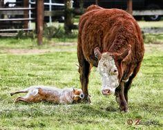 Australian Cattle Dog at work.