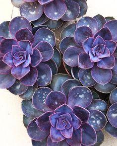 Celestial Succulent Plant