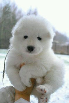 Samoyed puppy, Gonna be bringing our baby girl home just like this real soon!! :D
