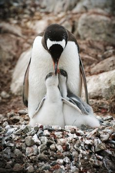 Gentoo penguin feeding chicks, Antarctica