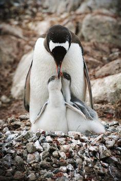 Gentoo penguin feeding chicks, Antarctica