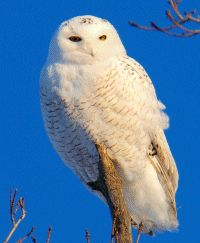 Paul Cyr Photography - Beautiful White Owl from Northern Maine
