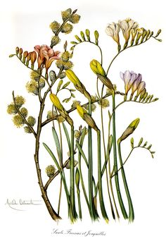 By Michele Delsaute//Looks like freesia flowers, daffodils and catkins Vintage Botanical Prints, Botanical Drawings, Botanical Flowers, Botanical Art, Freesia Flowers, Nature Journal, Plant Illustration, Realistic Drawings, Fauna