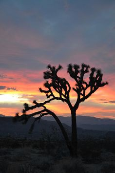 ✯ Joshua Tree Sunset