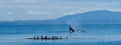 Off the San Juan Islands, you really do see the whales play.