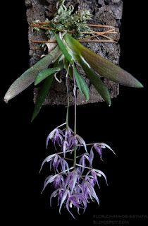 Macroclinium bicolor