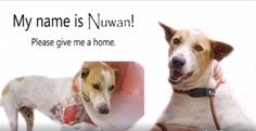 Soi Dog was notified almost a week later when a kind person learned of her terrible condition. She got no medical care during that time. Can you imagine the pain she must have suffered? Nuwan was picked up right away by an Animal Rescue Officer and brought to the shelter for urgent treatment. Nuwan received extensive treatment and care from the vets at the shelter. Now her wounds have healed but a permanent scar on her front leg is a symbol of her strength and bravery. Email inga@soidog.org.