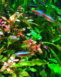 Best Fish for a 20 Gallon Tank (Buying Guide) Video Credit: Neon Tetra & Rasbora on IG Tropical Freshwater Fish, Tropical Fish Aquarium, Tropical Fish Tanks, Aquarium Fish Tank, Planted Aquarium, Freshwater Aquarium, Aquarium Design, Fish Tank Themes, Fish Pond Gardens