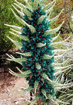 Blue Puya a bromelaid from Brazil