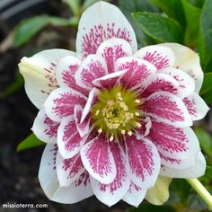 Painted Double Hellebore from the Winter Jewels TM series.  Zones 5-9. Shade loving. Deer & rodent resistant.  One of the fastest growing perennials around.
