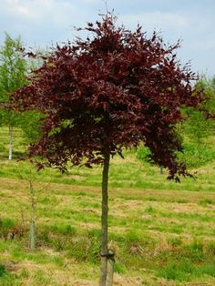 Fagus sylvatica 'Rohan Red Weeping (Weeping Purple Beech) - A rare selection of beech tree with very stiffly weeping branches which are clothed in rich purple leaves.