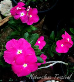 Variedad rosada oscura de la flor Vicaria, Vinca rosea o Catharanthus roseus