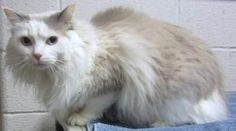 SAMMIE is an adoptable Domestic Long Hair/Ragdoll Mix Cat in Marietta, GA. What a stunning boy!  Sammie was turned into the shelter on 2/22/13 and they said he is litter trained.  He is up to date on shots, neute...